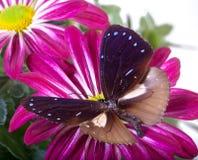 Farfalla comune del corvo Fotografia Stock Libera da Diritti