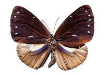 Farfalla comune del corvo Fotografie Stock Libere da Diritti