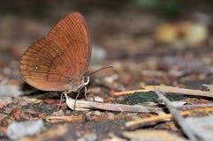 Farfalla comune del Faun Fotografia Stock Libera da Diritti