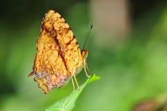 Farfalla comune del giullare Fotografie Stock