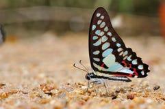 Farfalla comune del jay Immagine Stock