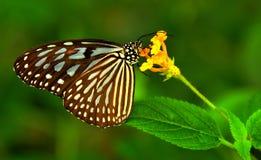 Farfalla comune del Mime Fotografia Stock Libera da Diritti