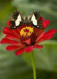 Farfalla comune del nawab immagine stock libera da diritti