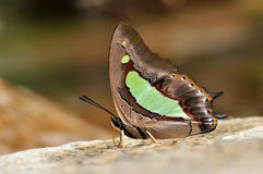 Farfalla comune del nawab Fotografia Stock Libera da Diritti