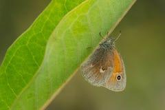 Farfalla comune del riccio Fotografia Stock Libera da Diritti