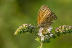 Farfalla comune del riccio Fotografie Stock Libere da Diritti