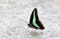 Farfalla comune del sarpedon di Graphium di moscone azzurro della carne Fotografie Stock