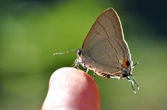 Farfalla comune del Tit Fotografia Stock