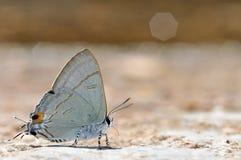Farfalla comune del Tit Immagine Stock