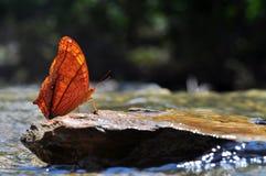 Farfalla comune dell'incrociatore Fotografia Stock Libera da Diritti