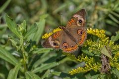 Farfalla comune dell'ippocastano Fotografia Stock