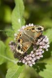 Farfalla comune dell'ippocastano su Camphorweed Immagini Stock Libere da Diritti