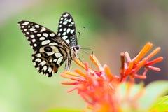 Farfalla comune della calce Fotografie Stock Libere da Diritti