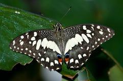 Farfalla comune della calce sul foglio Fotografia Stock Libera da Diritti