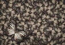 Farfalla comune della tigre di bianco, fondo bianco della farfalla di monarca Immagine Stock