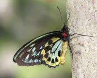 Farfalla comune di Birdwing (Troides helena) Immagini Stock