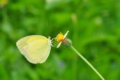 Farfalla comune di colore giallo dell'erba Fotografie Stock