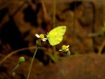 Farfalla comune di colore giallo dell'erba Immagini Stock Libere da Diritti