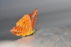 Farfalla comune di cunchinello Fotografie Stock Libere da Diritti