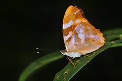 Farfalla comune di pasha Fotografia Stock