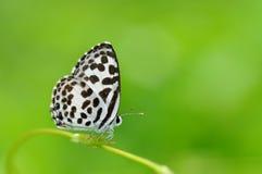 Farfalla comune di Pierrot Fotografia Stock