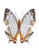 Farfalla comune isolata della mappa Fotografie Stock Libere da Diritti
