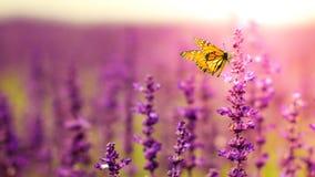 Farfalla con i fiori di Salvia Immagine Stock