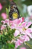 Farfalla con il fiore Fotografia Stock Libera da Diritti