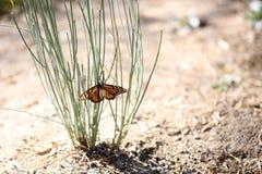 Farfalla con l'ala rotta fotografie stock libere da diritti