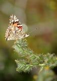 Farfalla con l'atteggiamento Immagini Stock