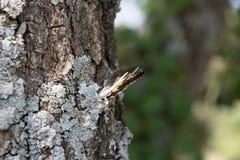 Farfalla con le ali chiuse sull'albero in Provenza, Francia Fotografie Stock Libere da Diritti