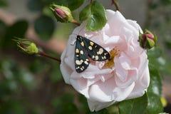 Farfalla con le ali nere ed i punti bianchi sulla rosa Immagine Stock Libera da Diritti