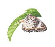Farfalla con le uova Fotografia Stock