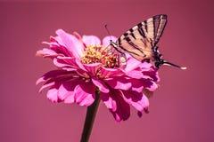 Farfalla crema sul fiore rosa fotografia stock libera da diritti