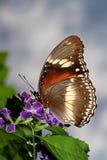 Farfalla d'alimentazione Fotografie Stock
