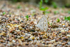Farfalla d'alimentazione Immagini Stock