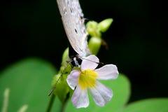 Farfalla d'alimentazione Fotografie Stock Libere da Diritti