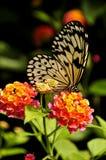 Farfalla d'alimentazione della crisalide dell'albero fotografie stock