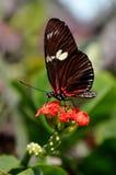 Farfalla d'alimentazione di Longwing, aka, Heliconius, doris. fotografie stock libere da diritti
