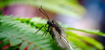 Farfalla dalle ali aperte laterali Immagini Stock