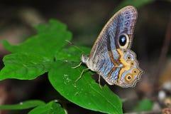 Farfalla dei cyclops di angolo Fotografia Stock