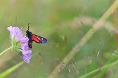 Farfalla dei ephialtes di Zygaena Immagini Stock Libere da Diritti