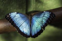 Farfalla dei peleides di Morpho Immagini Stock