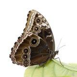 Farfalla dei peleides di Morpho Fotografia Stock Libera da Diritti