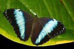 Farfalla del Achilles Morpho Immagine Stock