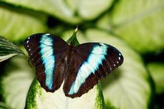 Farfalla del Achilles Morpho Immagini Stock Libere da Diritti