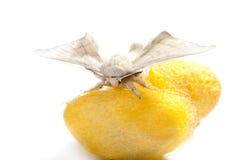 Farfalla del baco da seta sopra il bozzolo giallo su bianco Fotografie Stock