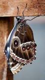 Farfalla del Brown Fotografie Stock Libere da Diritti
