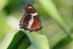 Farfalla del Brown Fotografia Stock