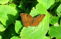 Farfalla del Brown Fotografia Stock Libera da Diritti